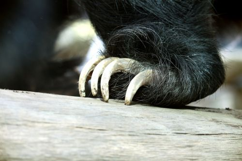 Sloth Bear Claws