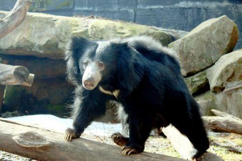 Sloth Bear Wandering