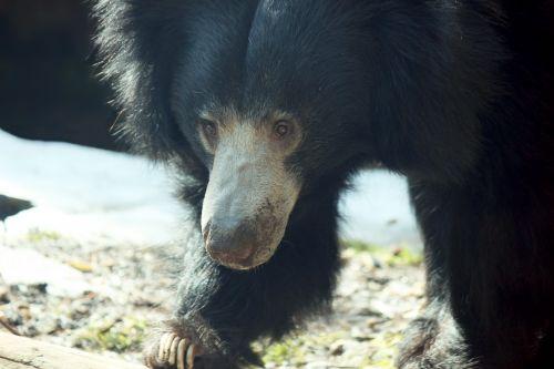 Sloth Bear Watching