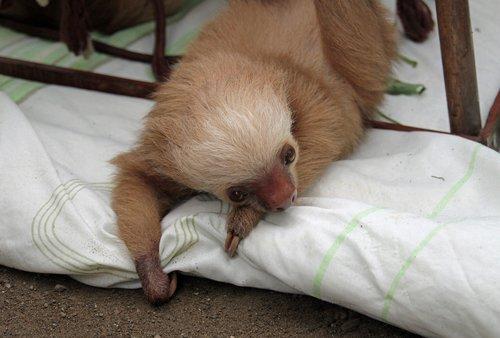 sloths  arboreal  mammals