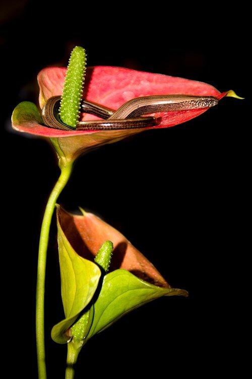 slow worm  lizard  anthurium