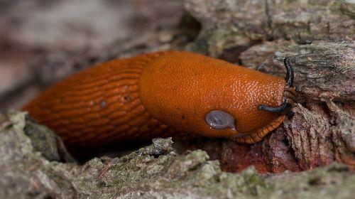 slug red arion rufus