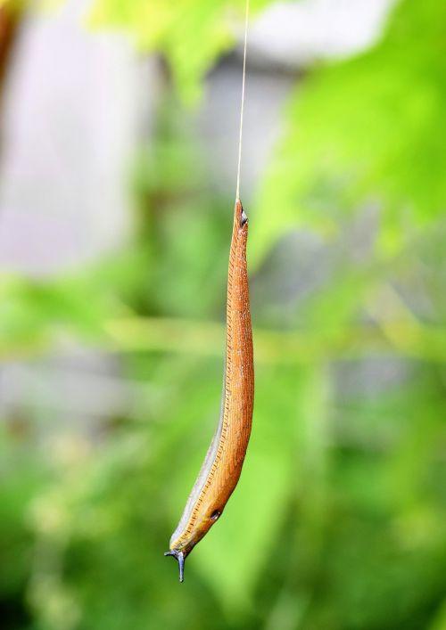 slug snail mollusk