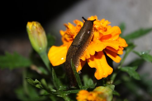 slug  flower  marigolds