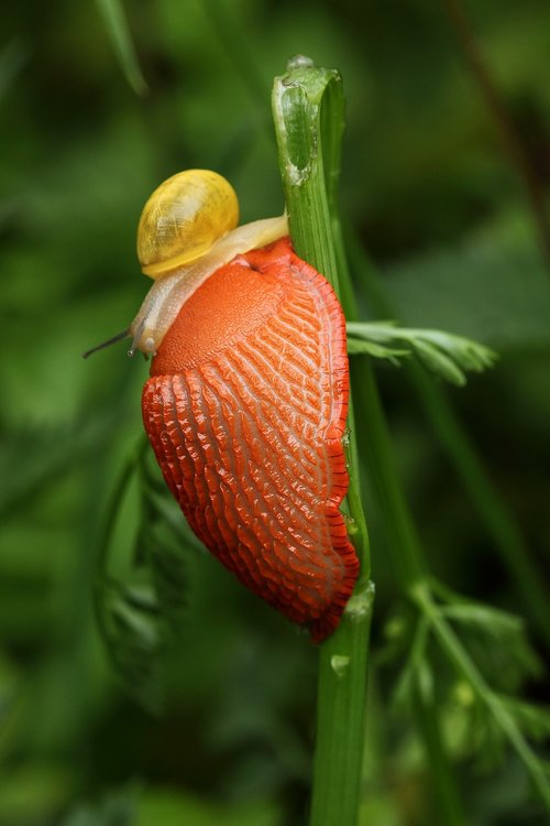 slug  orange  snail