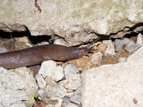 slug shell animals