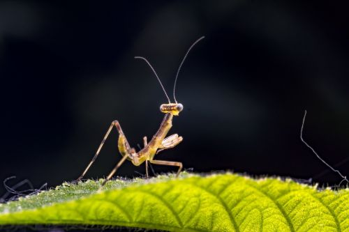 small mantis insect