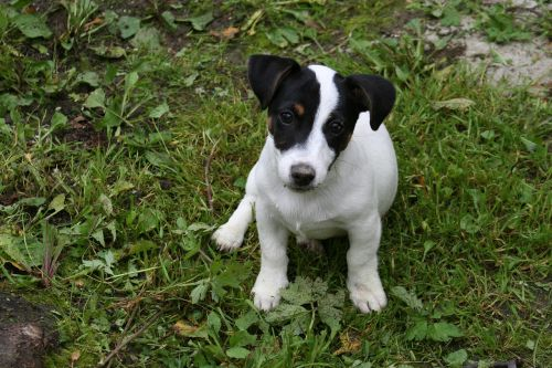 small havko terrier