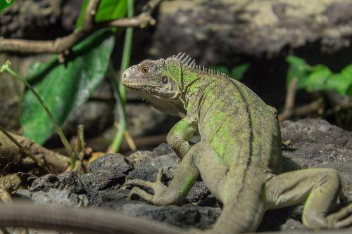 small antillean iguana iguana animal