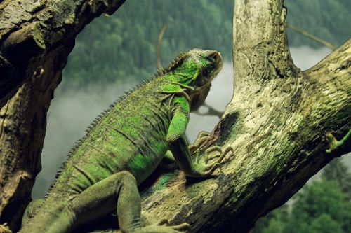 small antillean iguana iguana iguana delicatissima