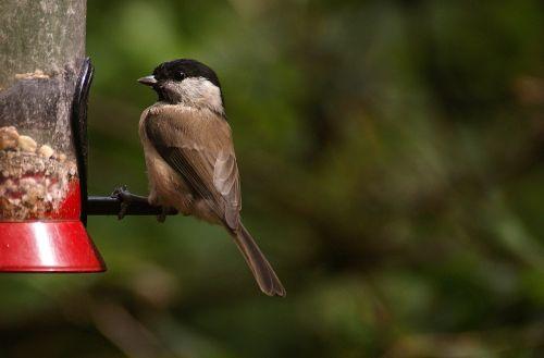 small bird feeding bird