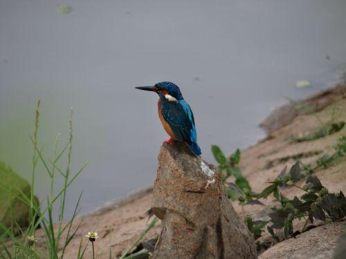 small blue kingfisher dharwad sadhankeri