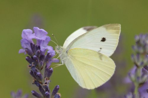 small cabbage white ling butterfly nature