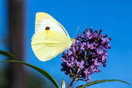 small cabbage white ling pieris rapae butterflies