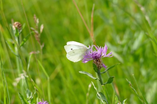 small cabbage white ling  pieris rapae  butterfly