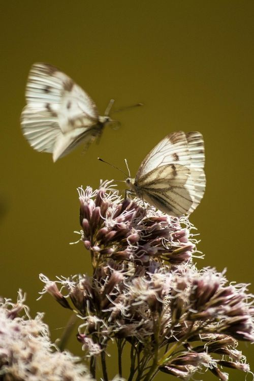 small cabbage white ling butterflies close