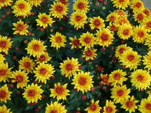 small chrysanthemum yellow upward