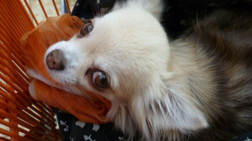 small dog cute white