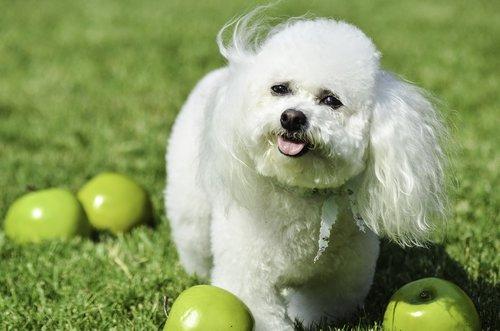small dog  white dog  fluffy dog