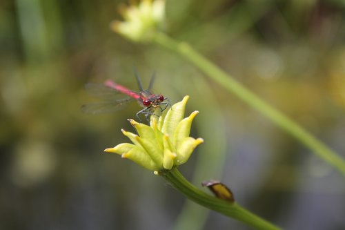 small dragonfly  red dragonfly  early adonis dragonfly