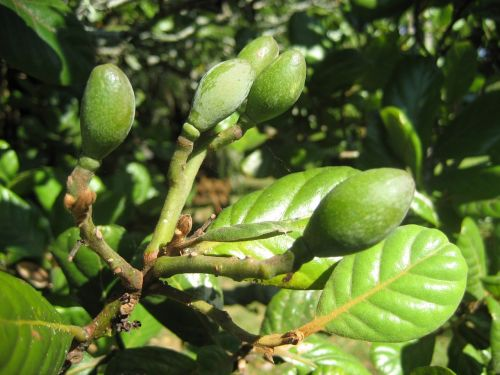 small immature fruit tree green foliage