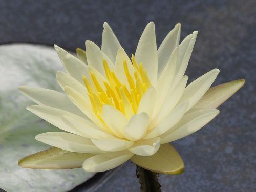 small kind lotus crystal yellow