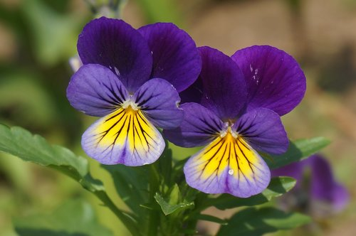 small pansy  purple  yellow