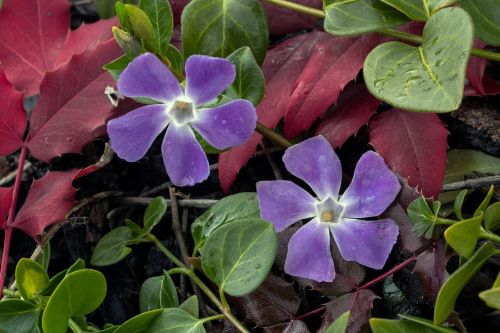 small periwinkle flower blossom