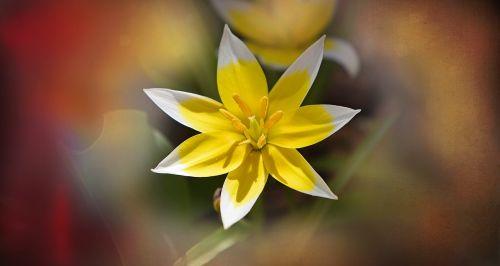small star tulip star tulip flower