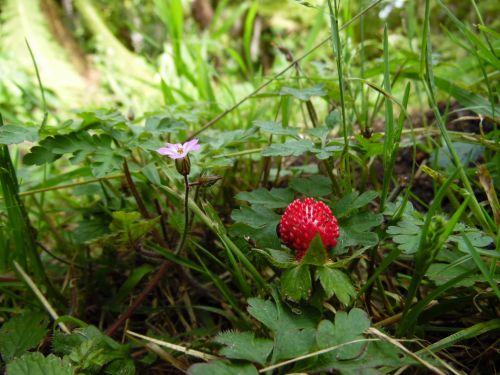 Small Wild Strawberry