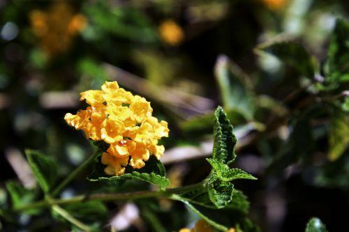 Free photos small yellow flowers search download needpix flowerflowersyellowbunchbranchplantsmall yellow flowers mightylinksfo