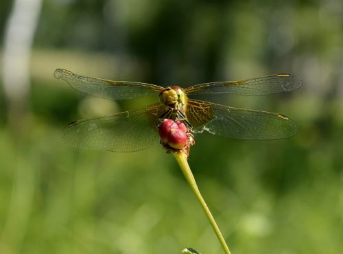smile dragonfly insect