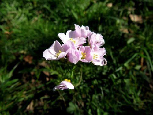 smock salad flower wild herb