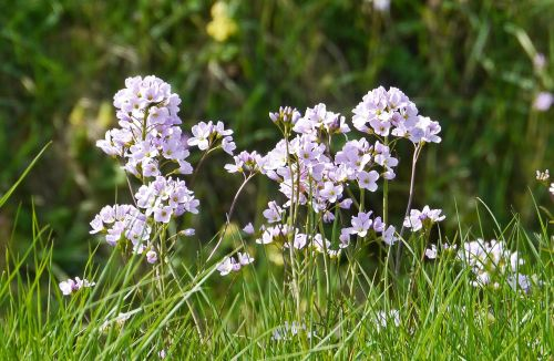 smock inflorescence spring
