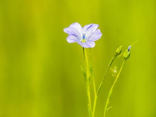 smock flower plant