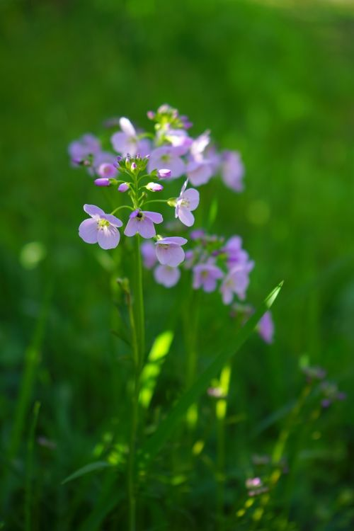 smock flowers light purple