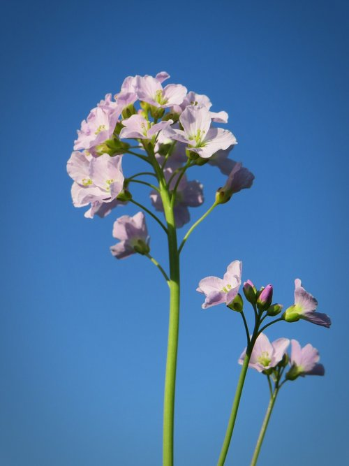 smock  herb  blossom