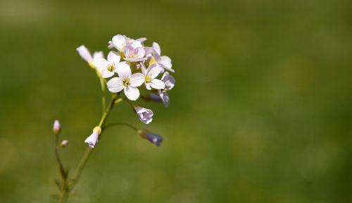 smock plant flowers