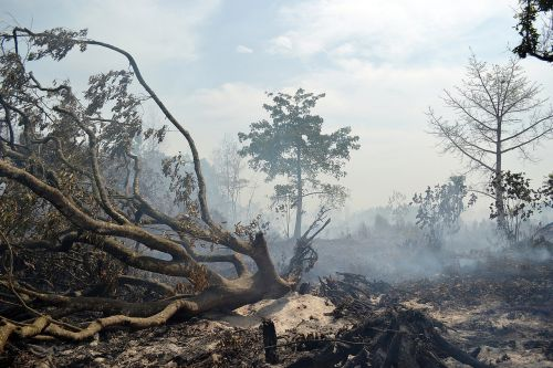 smoke tree forest