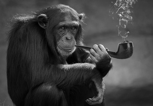 smoking  monkey  primate