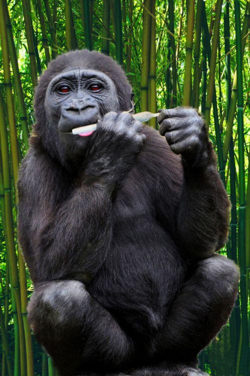 gorila, ape, primatas, linksma, juokinga, humoras, humoristinis, rūkymas, cigarečių, valcavimo, suvynioti, tabakas, rūkymas gorila