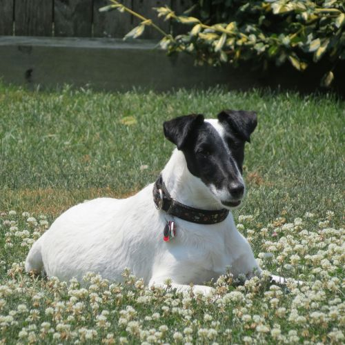 smooth fox terrier dog animal
