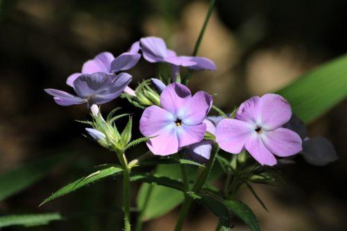 Smooth Phlox Wildflower