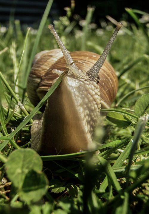 sraigė,pieva,gamta,sodas,žolė,žalias,gyvūnas,vasara,lukštas,natūralus,šlakas,aplinka,laukinė gamta,pavasaris,gastropodas,nuskaitymo,fauna,lėtas,lauke