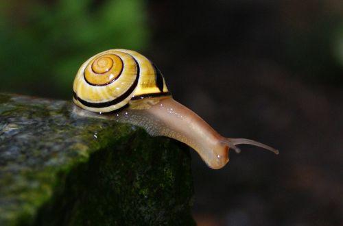snail shell filler