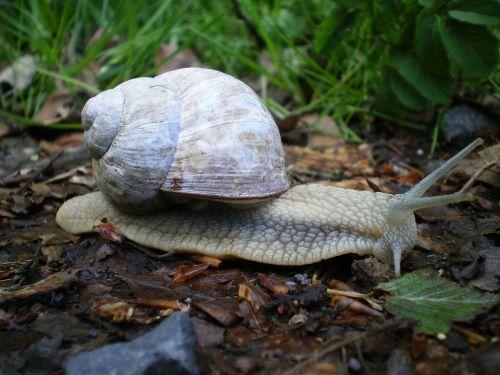 snail shell gastropoda