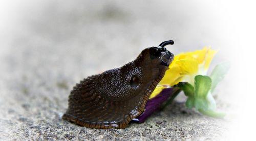 snail slug mollusk
