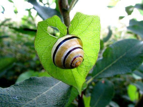 snail molluscs shell