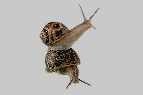 snail gastropod shell