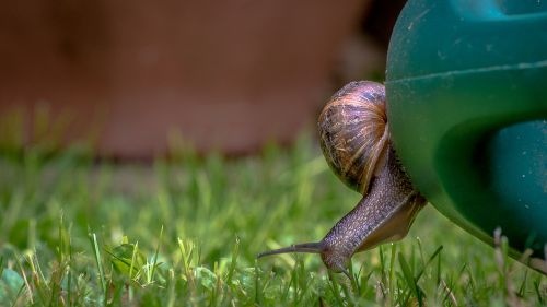 snail watering can grass